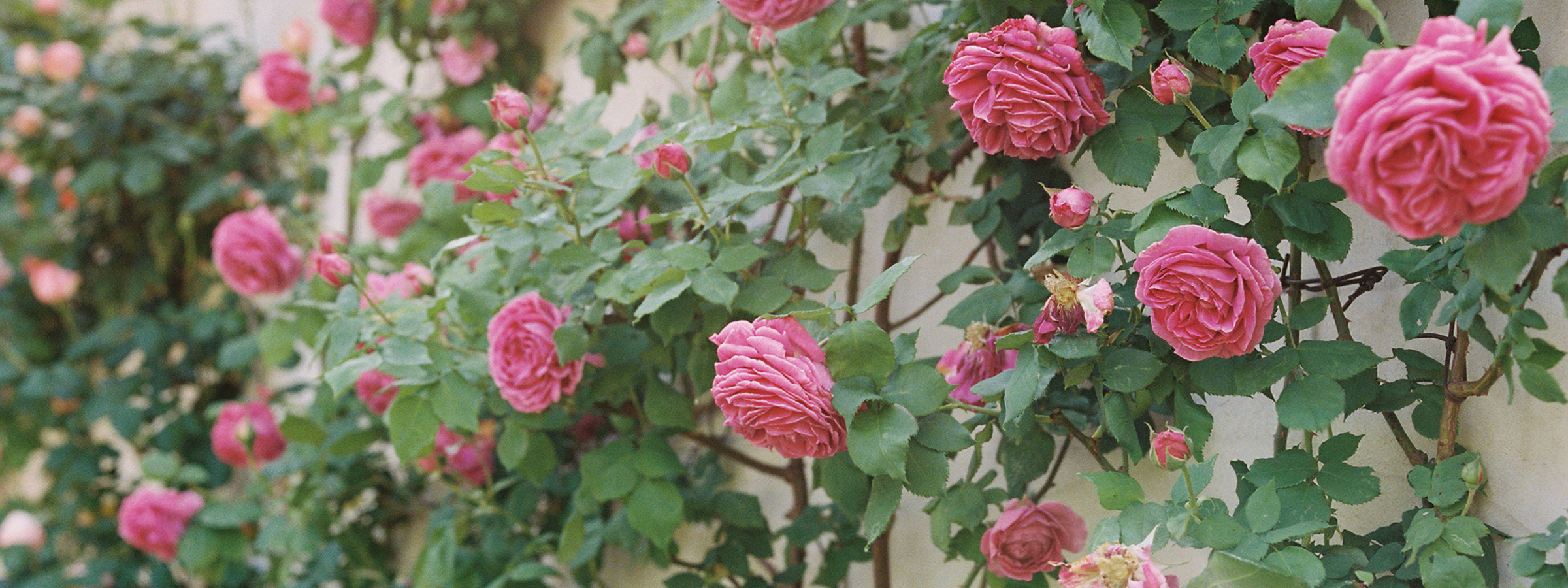 Flutter Magazine Issue 17 provenc climbing roses at clos saint esteve farmhouse